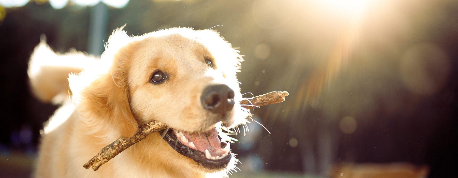 golden retriever with a stick in his mouth